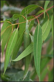 Insectos hoja - Tropidoderus childrenii