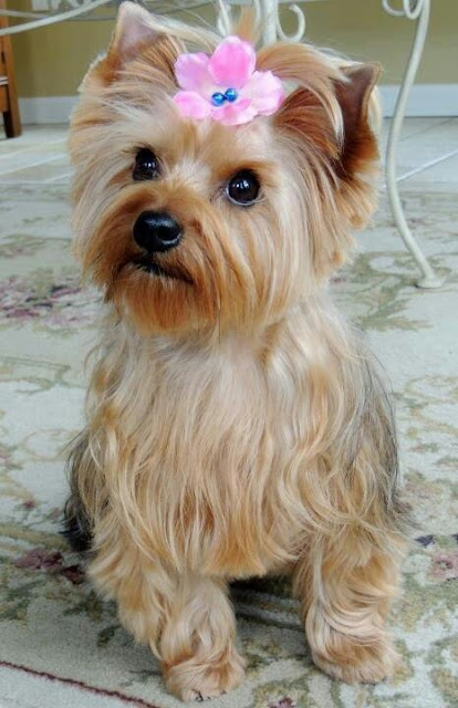 Temperament and Personality of Yorkshire Terrier