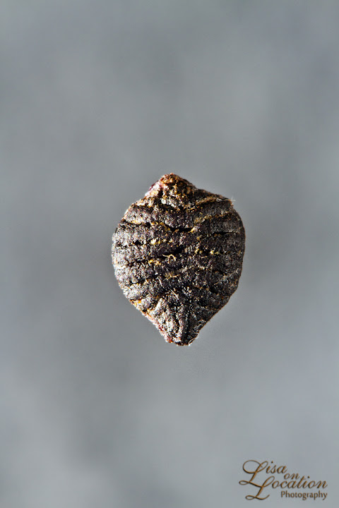 passiflora lutea seed macro, 365, lisa on location photography, New Braunfels, San Antonio, Austin