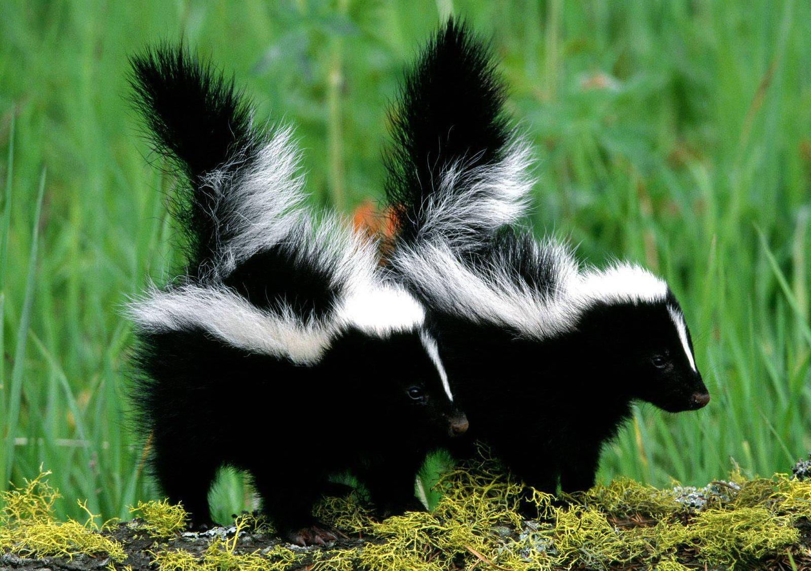 Biggest Skunk