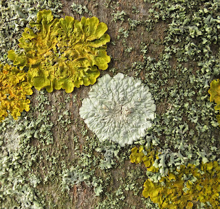 Flat, circular, white, fungus - Diploicia canescens - on trunk of tree.