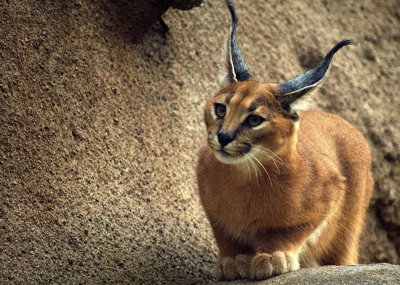 Caracal cat - photo#10