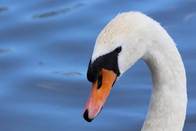 Tierfotos - Vogelfotos - Schwan