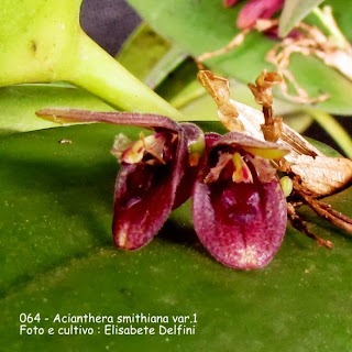 Acianthera riograndensis, Pleurothallis smithiana, Aciantera pubescens, Pleurothallis pubescens