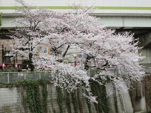 江戸川橋公園桜03