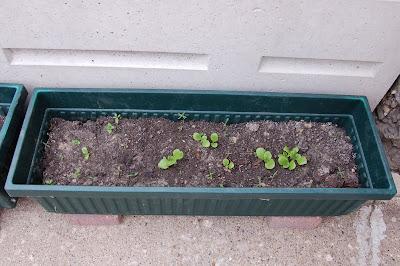 Container Lettuce Garden Babies Butterhead Seedlings