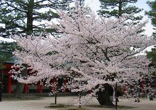 Bunga Sakura di selorejo