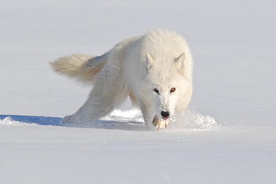 Arctic wolf in snow - photo#2