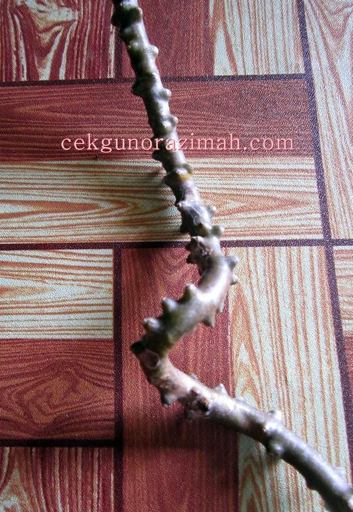 pokok bakawali