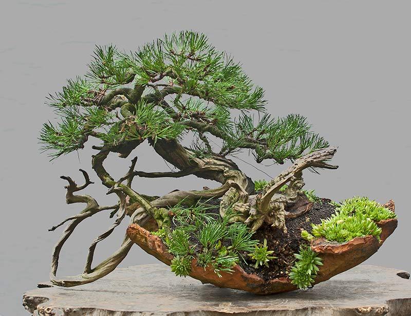 walter pall bonsai adventures mugo pine 36. Black Bedroom Furniture Sets. Home Design Ideas