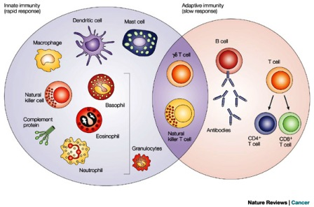 Cells involved Immune system