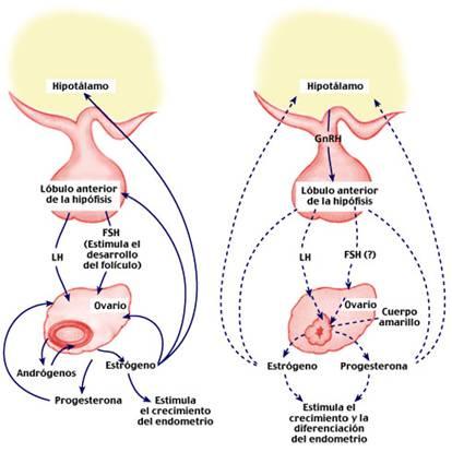 Anatomía y fisiología del sistema endocrino 2AM.: Función endocrina ...