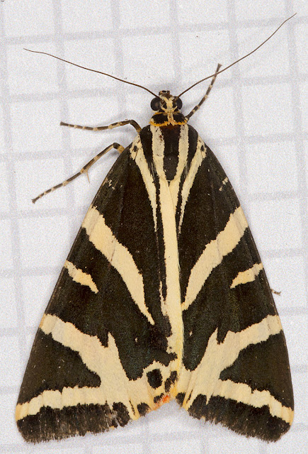 Jersey Tiger, Euplagia quadripunctaria.  From my actinic trap in Hayes on 20 August 2012.
