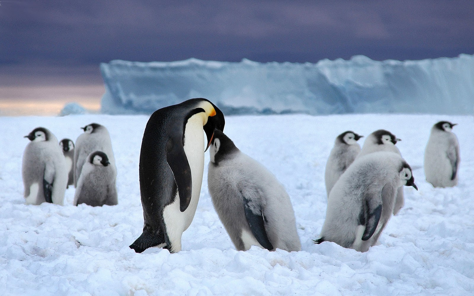 http://2.bp.blogspot.com/-WPNwU_h9YCM/UDkSoNsQDBI/AAAAAAAABIE/8sX5-KdVOqE/s1600/hd-penguin-wallpaper-with-father-or-mother-penguin-feeding-his-young-wallpapers-backgrounds-pictures-penguins-photos.jpg