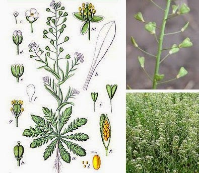 shepherd's purse herbal medicine