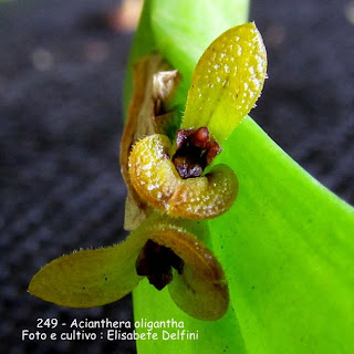 Acianthera oligantha  do blogdabeteorquideas