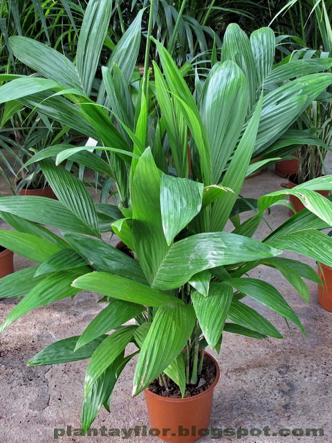 plantas y flores areca triandra On planta ornamental originaria de la india