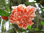 flor de granado(rodiu)