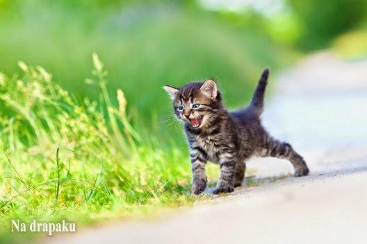 Wczesna kastracja kotów