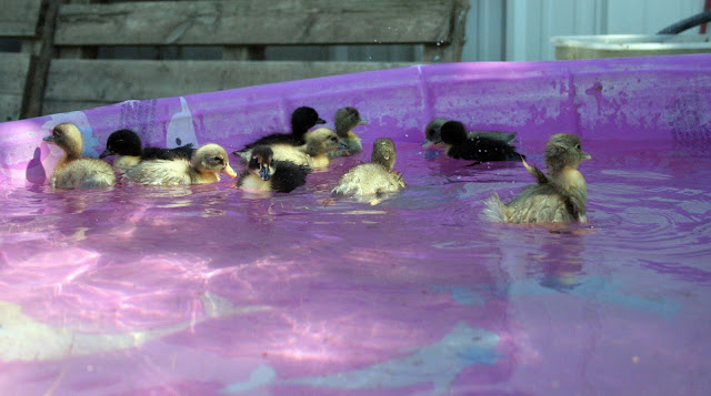baby ducks first swim in the big pool