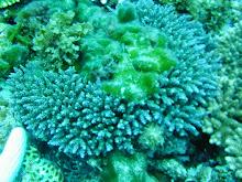 馬毛島のサンゴ