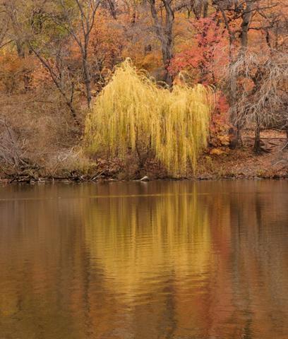 Autumn Willow2