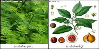 Contoh Tumbuhan Berpembuluh (Vaskuler)