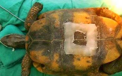 kura-kura terancam, enggan bertelur, doktor haiwan, pembedahan,