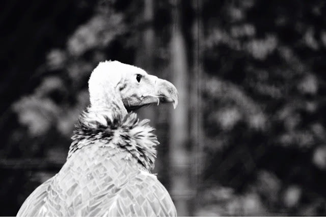 Vulture back and white public domain picture