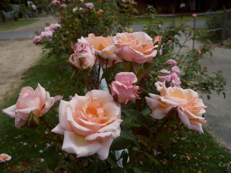 davy 39 s louisiana gardening blog rose bloom clusters. Black Bedroom Furniture Sets. Home Design Ideas