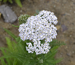 Achillea Millefolia 'Common Yarrow'