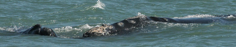 MRC's North Atlantic Right Whale Conservation Program