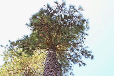 Looking Up to the Crown of a Ponderosa Pine