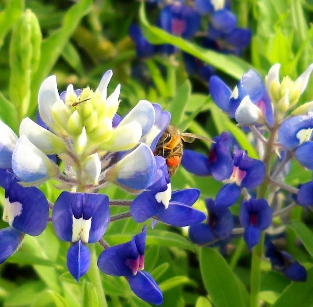 A honey bee on a Bluebonnet wildflower at White Rock Lake, Dallas, Texas