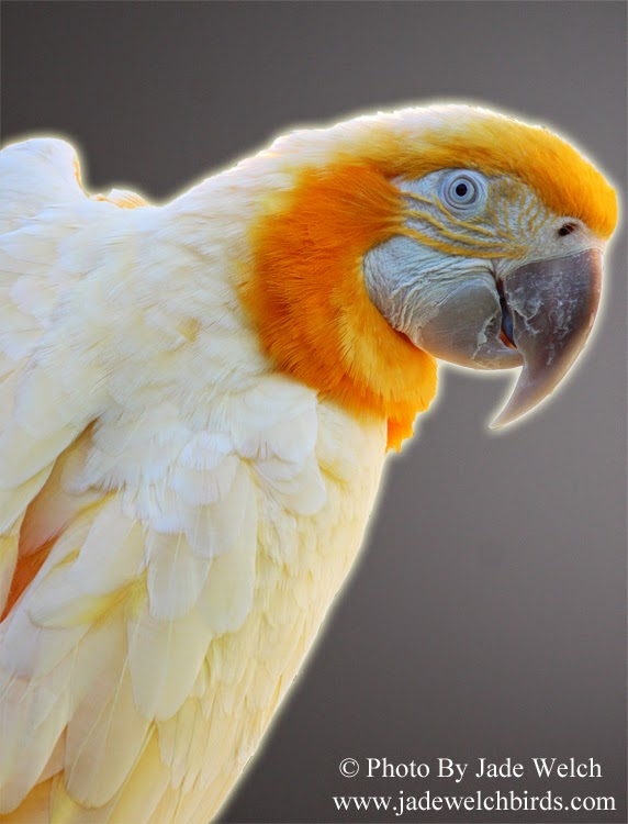 lutino blue and gold macaw jade welch birds jadewelchbirds