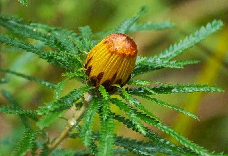 Showy Dryandra (Banksia formosa)