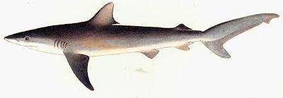 tiburon arenero Carcharhinus obscurus