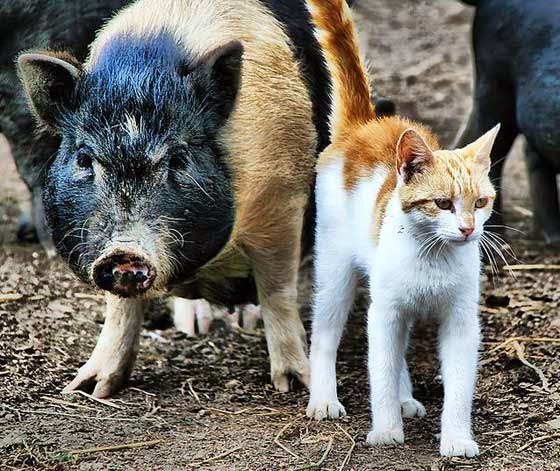 cat and pig are best friends