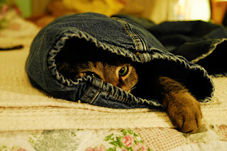 Brown tabby hiding in blue jeans