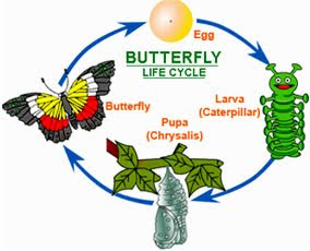 Life Cycles. Please Listen To Their Podcast About The Life Cycle Of A  Butterfly.