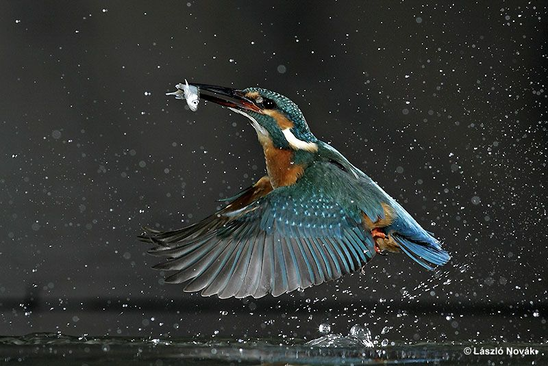 The kingfisher amazing bird the wildlife