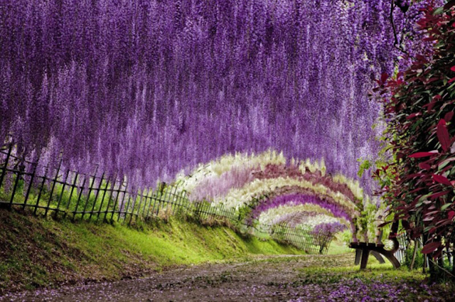 Another awesome view of the empty Wisteria tunnel