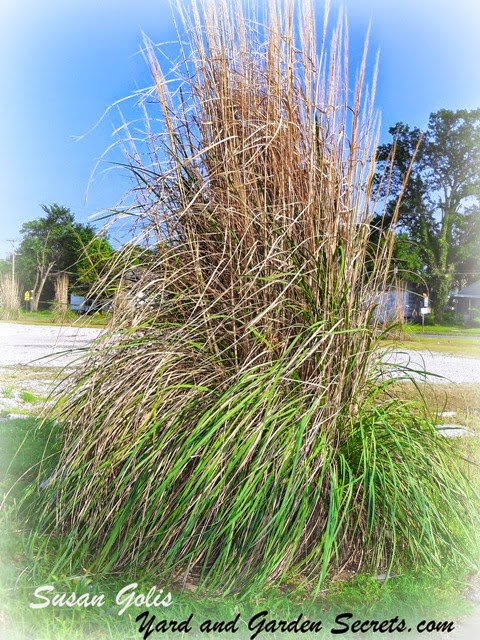Yard and garden secrets ornamental grass garden ideas for Very tall ornamental grasses