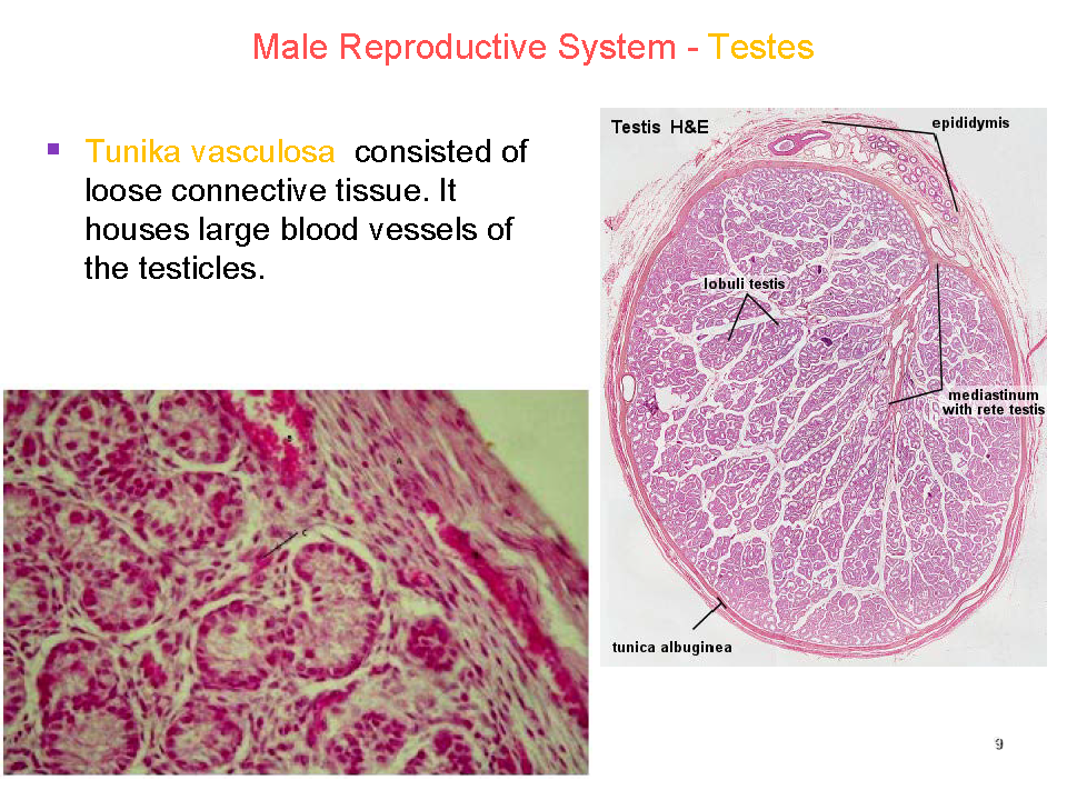 endocrine system testosterone