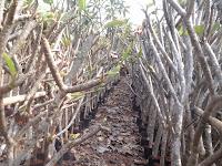 Bibit pohon kamboja