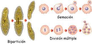 Eucariotas unicelulares reproduccion asexual