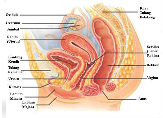 Alat Reproduksi Wanita Bagian Dalam Dan Luar Beserta Fungsinya