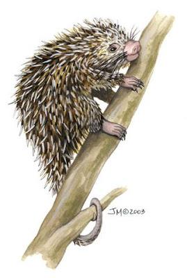 Puerco espín brasilero Coendou prehensilis