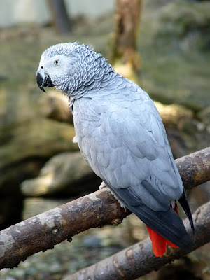 African Grey Parrot Bird Pictures