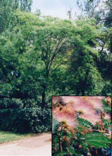 Árbol de Albizia Julibrissin